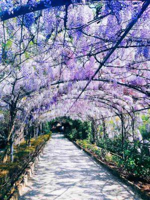wisteria giardino bordini